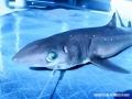 requin.1