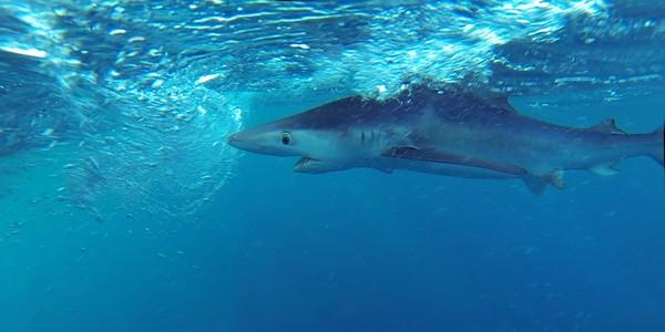 requin_peau_bleu