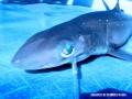 requin2